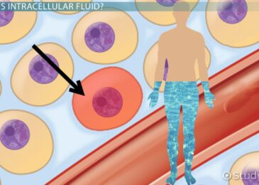 Intracellular Fluid & Other Fluids In Our Body
